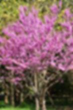 pink redbud.jpeg