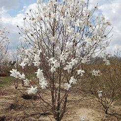 dr merrill magnolia.jpg