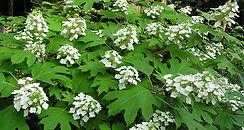 oakleaf-hydrangea-mainimage.jpg