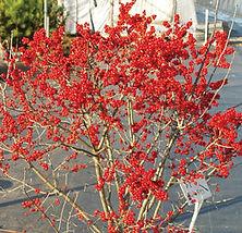 sparkleberry winterberry.jpg