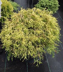 Cypress, Gold Mop 7 gallon container_edi