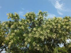 japanese pagoda tree blossom._Sophora Ja
