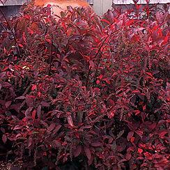 henry garnet shrub.jpg