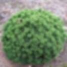 mugo pine.png