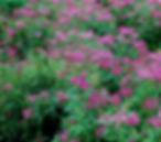 anthony waterer shrubs.jpg