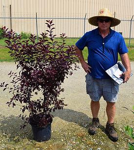 Plum, Purple Leaf Sandcherry 5 gallon co