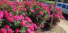 knockout rose bush.jpg