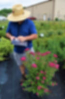 Spirea, Anthony Waterer 3 gallon contain
