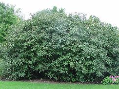 allegheny shrub .jpg