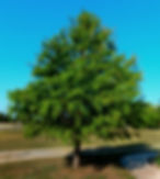 bald cypress.jpg