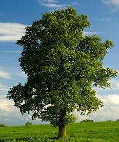 A Young Mature Lone English Oak Tree_edi