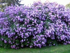 common purple lilac shrub_edited.jpg