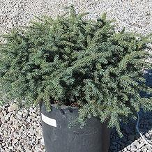 blue nest spruce.jpg