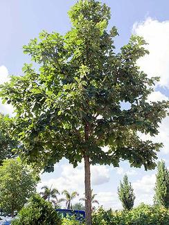 swamp white oak.jpg