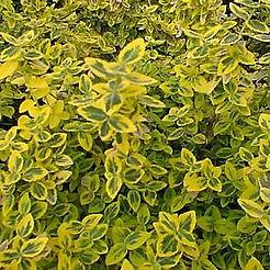 emerald n gold euonymus.jpg