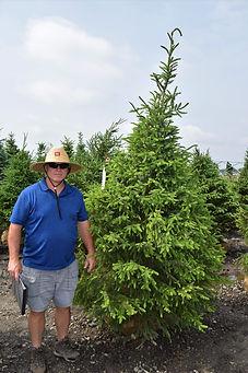 Spruce, Serbian 7 foot.JPG
