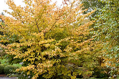 Common-Witchhazel-Fall-2.jpg