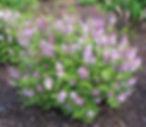 dwarf korean lilac.jpg