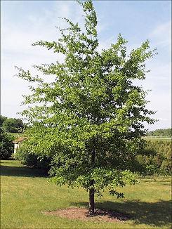 shingle oak tree.jpg
