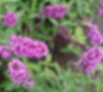 petites butterfly bush.jpg