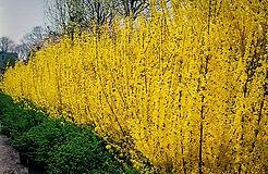 lynwood-gold-forsythia-2.jpg