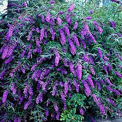 black-knight-butterfly-bush-2.jpg