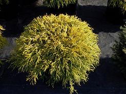 gold thread cypress.jpg