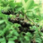 glossy black chokeberry.jpeg