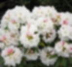 white rhododendron.jpg