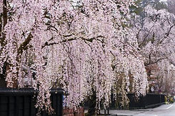 weeping cherry 3.jpg