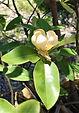 Magnolia, Sweetbay flower.JPG