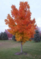 maple 5_edited.jpg