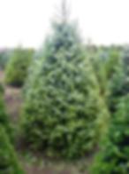 a servbian spruce.png