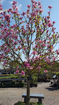 Magnolia Galaxy tree in bloom in May.jpg