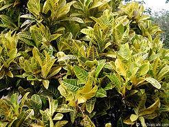 variegated shrub.jpg