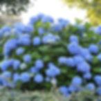 endless summer hydrangea.jpg