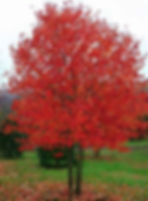 red sunset maple.jpg