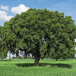 white oak tree.jpg