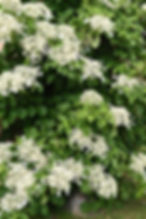 evergreen-hydrangea-400x600.jpg
