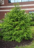 Hemlock - Treeze.jpg