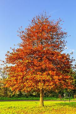 Solitaire Pin oak, Quercus palustris, wi