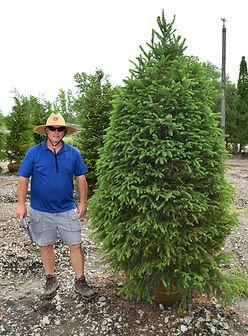 Spruce, Norway 7 foot.JPG