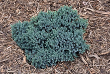 blue star juniper.jpg