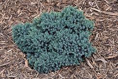 blue star juniper.jpg