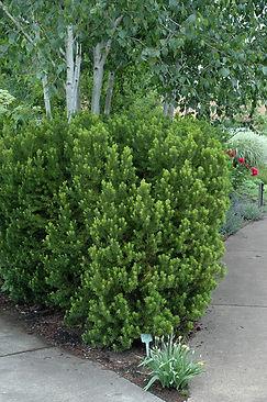 hicks yew tree.jpg