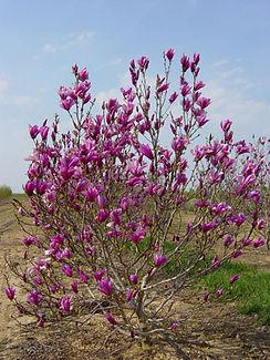 ann magnolia.jpg