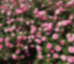 rosesweetdrift2_edited.jpg