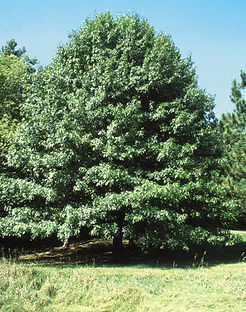 nortern pin oak.jpg