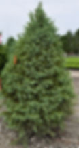 Spruce, White 8 foot_edited.jpg