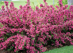 sonic bloom pink shrub_edited.jpg